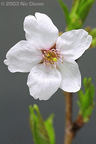 Cherry Blossom 3 by nicanddi