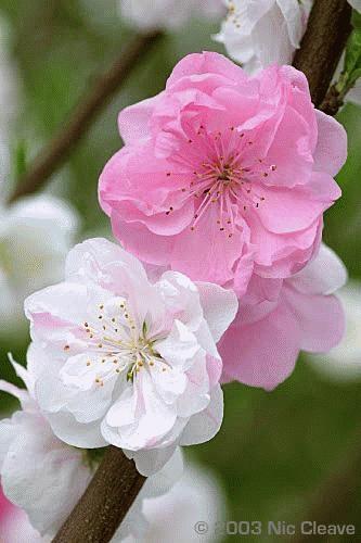 Cherry blossom six by nicanddi