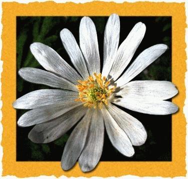 Anemone Blanda by marianne