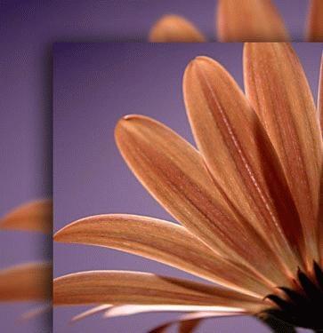 Osteospermum by marianne