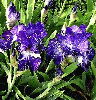 Iris by mrjes