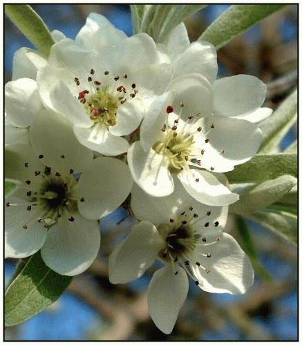 Cherry Blossom 1 by rikewoo