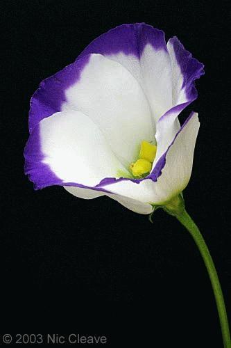Purple by nicanddi