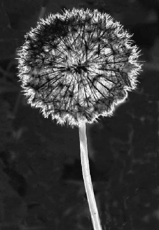 Dandelion by heidi