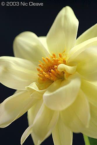 Yellow flower 2 by nicanddi