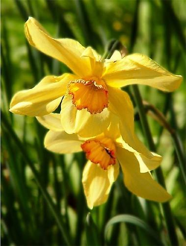 Daffodils by billyji