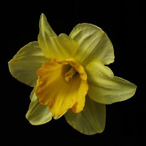 Daffodil#1 by Ray Willmott