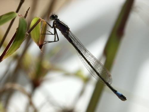 Mayfly by Saxon Marsh