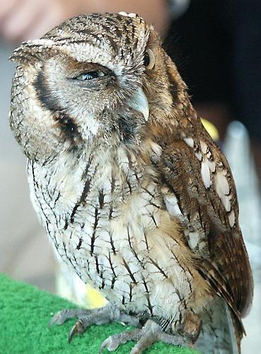 Little Owl by Saxon Marsh