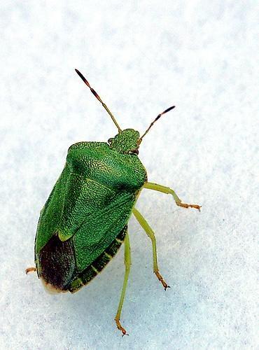 Leaf Beetle by Saxon Marsh