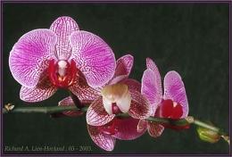 Orchid  Phalaenopsis Hybrid