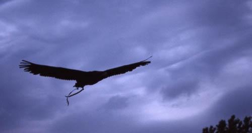 eagle flight by Steve Cribbin