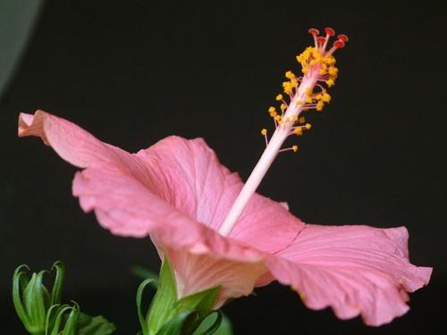Hibiscus \'Como\' 2 by alex.allen