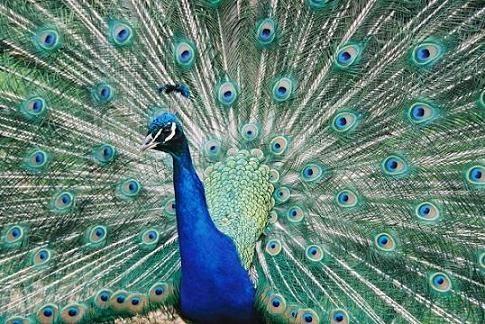 Peacock by scuba_do