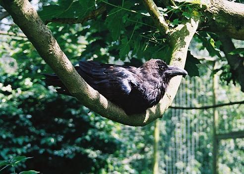Raven by scuba_do