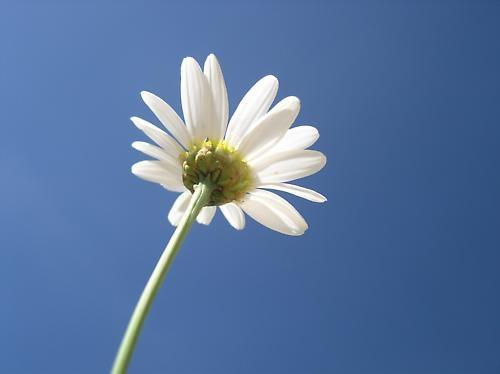 White daisy by janehewitt