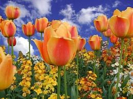 Tulipsky
