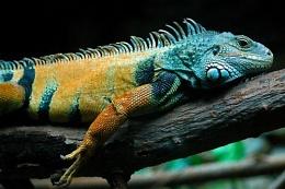lying lizard