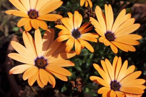 Orange Flowers by shaun