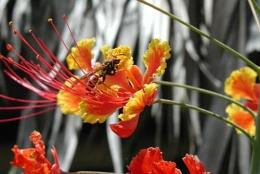 Carribean wasp