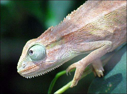 Chameleon by edz2001