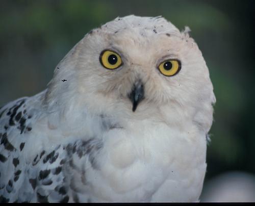 Snowy Owl by phiggy