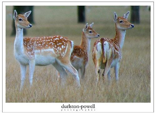 Fallow Deer 002 by durlstonp