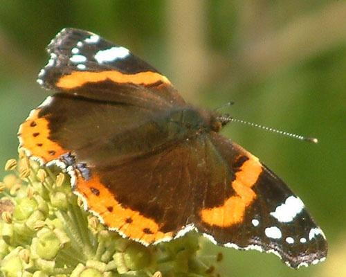 Butterfly by alex.allen