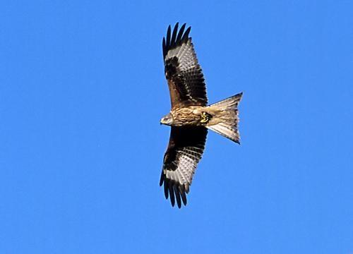 Red Kite by maroondah