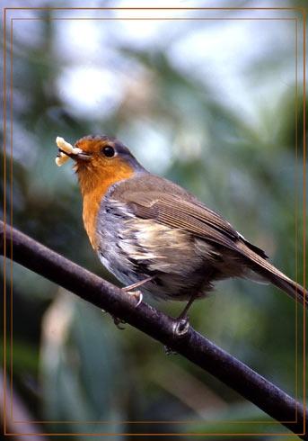 Robin by em0231