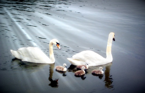 Swans by Steel