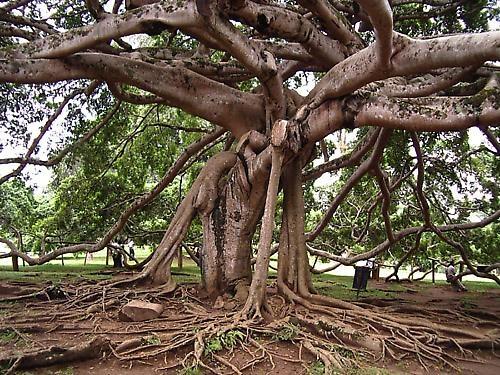 "Sri Lankan \""Love\""Tree by tj"