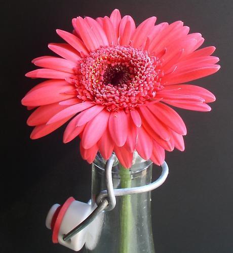 pink gerbera by janehewitt
