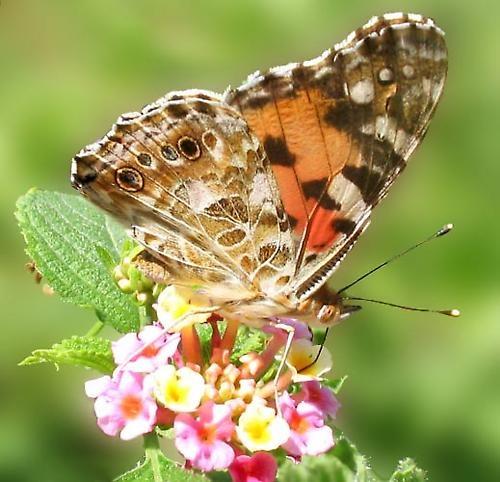 Butterfly Feeding by blu
