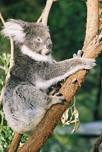 Koala by moggo