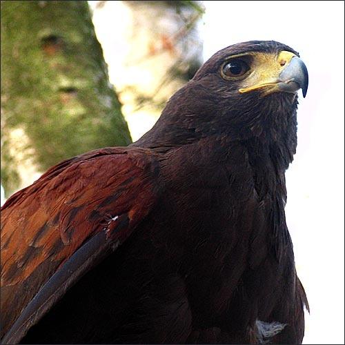 Hawk by edz2001