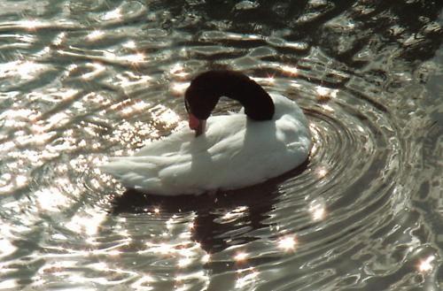 Swan in Lake by graymw