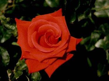 Rose by Bucks