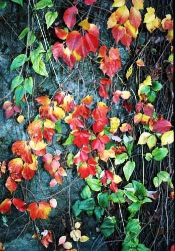Autumn Vine by John-LS