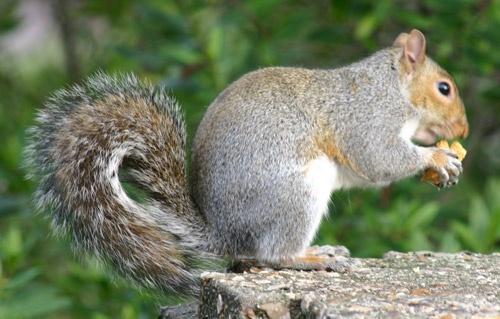 fat squirrel again... by simon9924