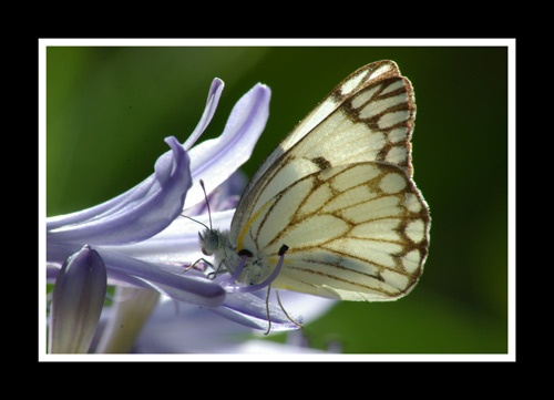 Butterfly by anton