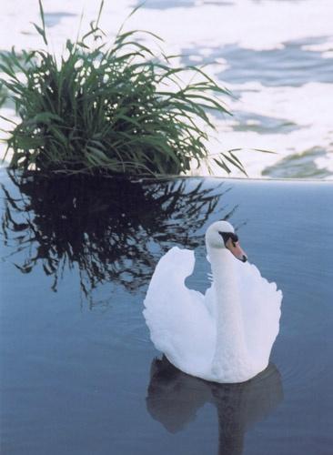 Tewksbury Swan by whippetrider