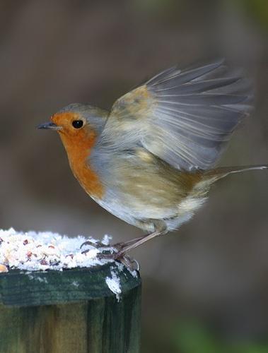 Robin by tigertot