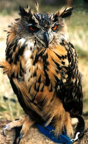 Eagle Owl by cal9