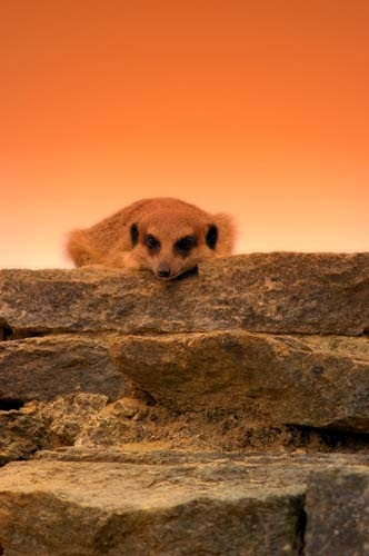 Meerkat coming over the hill by gma