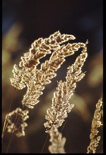 Backlight Grasses by minoltaandy