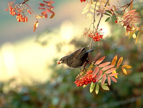 Blackbird and Berries by gibbsy