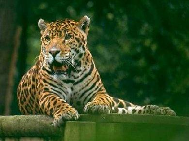 Jaguar by Bucks