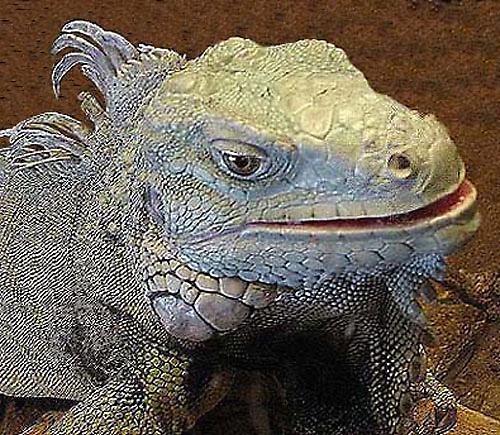 Iguana by daffydill56