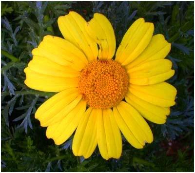 Gozo Flower 2 by divershona